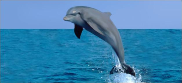 The dolphin propels itself out of the water thanks to its caudal fin.
