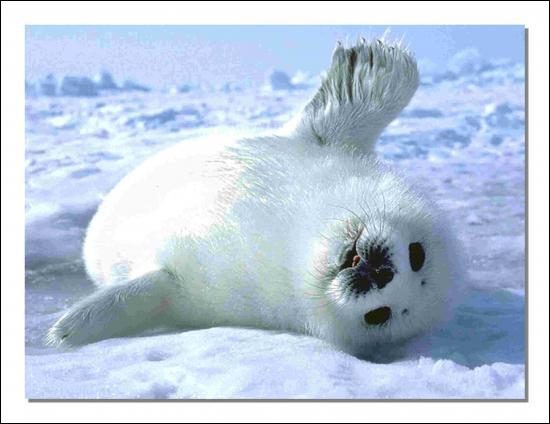The harp seal pup is called a whitecoat.