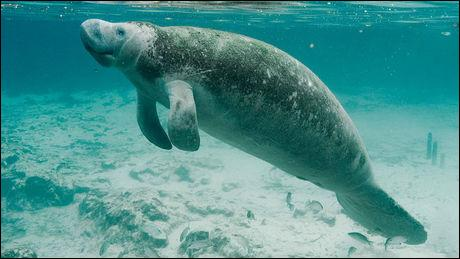 The manatee is a carnivorous marine mammal.