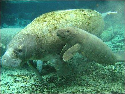 The manatee or sea cow only lives in very cold water.