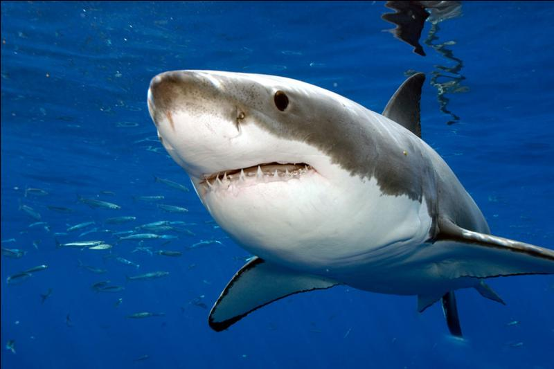 The great white shark is one of the biggest predatory fish living in the oceans.
