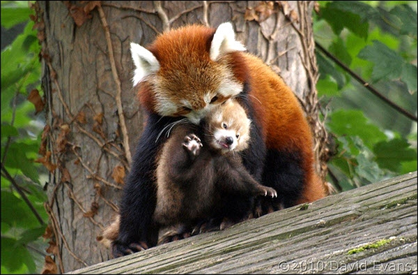 The little panda or red panda lives in Africa !