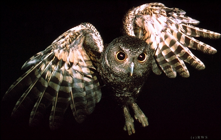 The owl is the female of the owl !