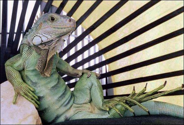The iguana is a redoubtable predator !