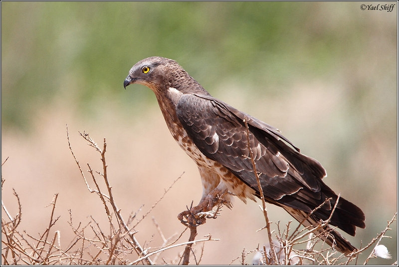 The honey buzzard is a raptor that feeds mainly on wasps and bees!