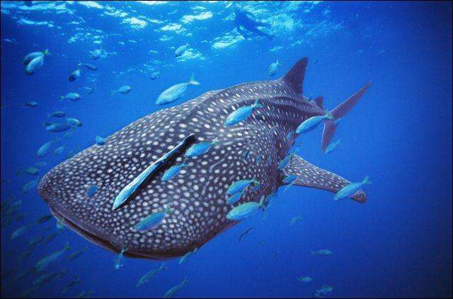 The whale shark is a cetacean !
