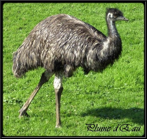 Does the emu know how to fly ?