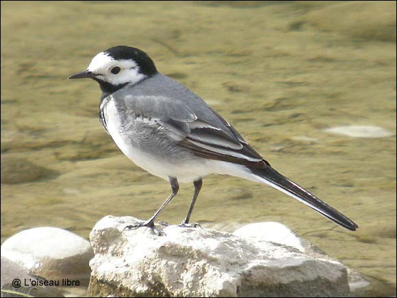 Is the gray wagtail with wavy flight a migratory bird ?