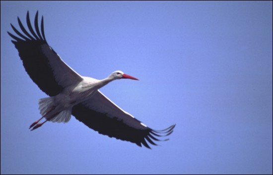 For their migration to Africa, do storks cross the Mediterranean ?