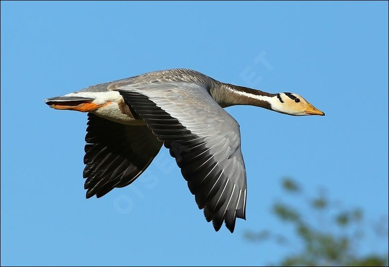 How high can the bar-headed goose fly ?