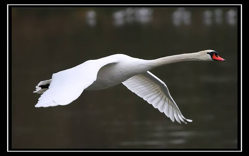 At what altitude was a flight of swans observed by an airline pilot ?