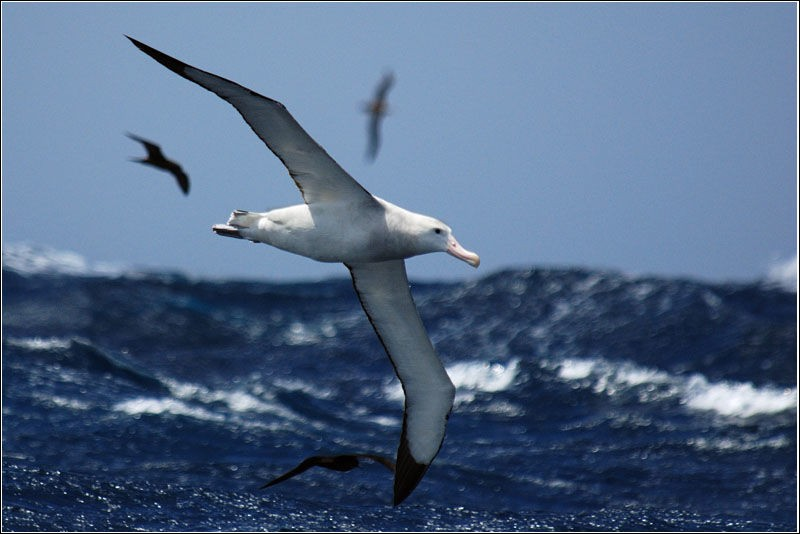 What is currently the largest flying bird in the world, with a wingspan of up to 3.70 meters ?