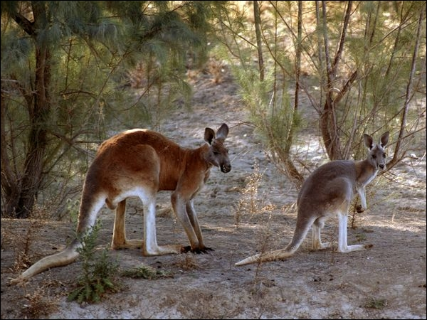 In this sport, just like the kangaroo, you have to know how to use your fists and your feet !
