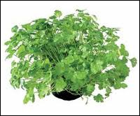 This aromatic plant also nicknamed Arabian parsley and/or Chinese parsley is actually :