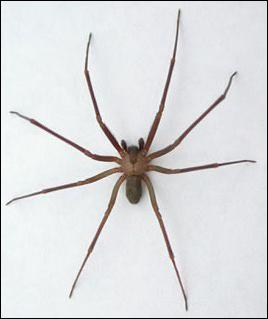 Another name for the Brown Recluse spider is ?
