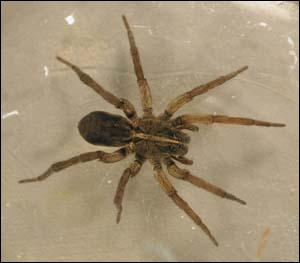 This spider was give its name for the way it hunts down its prey... . what is it?