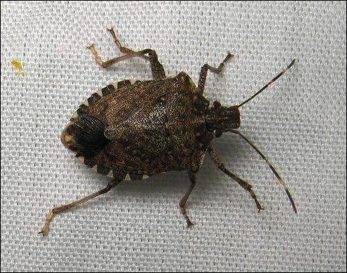 The Brown Marmorated Stink Bug was first introduced to the US in which Pennsylvania town?