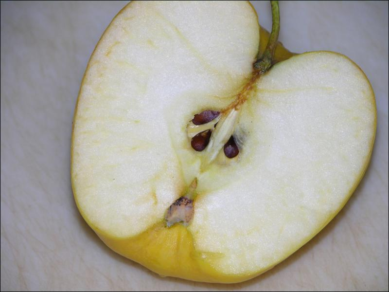 As an adult, which insect is about the size of an apple seed?