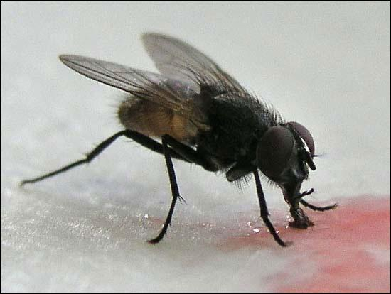 The House Fly cannot do which of the following?