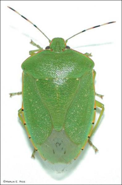 The Green Stink Bug is indigenous to which country?