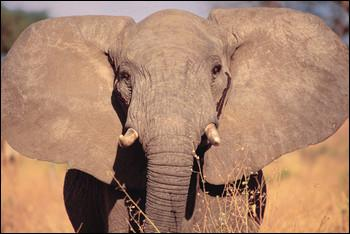 African Animal That Starts with E