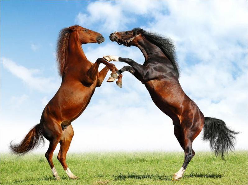 Horses; The great gaits quiz