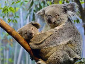 What is the Aboriginal name for the Koala?