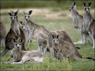 What is a group of kangaroos called?