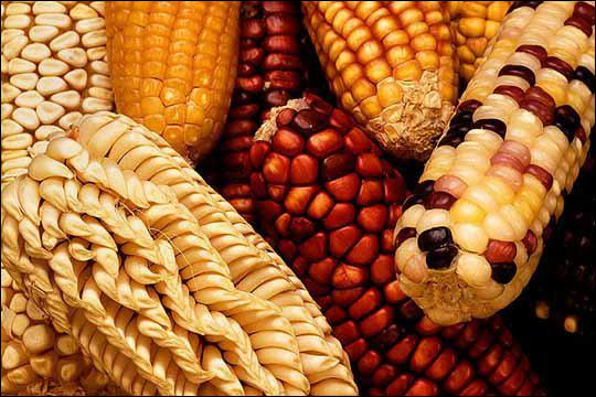 Maize is