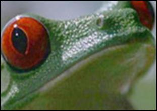 This frog is a ... ?