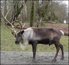 Santa Claus had 9 of these animals : Dasher, Dancer, Prancer, Vixen, Comet, Cupid, Dönner, Blitzen and Rudolph.