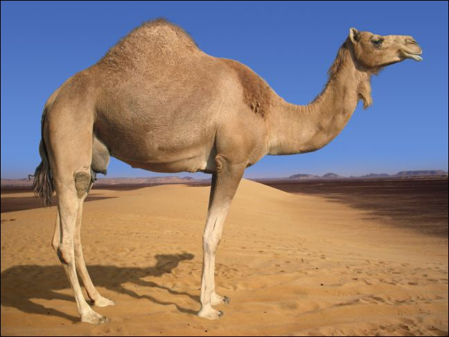 Look at me! I am not a camel. You see, I've got just one back.