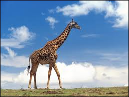 This is the animal with the longest neck in the world.