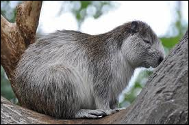 This is a gwaning animal. It seems a beaver, rat or a marmot. They are very common in Cuba