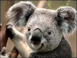 This animal is typical from Australia and they love bamboo.