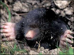 This is a mammal animal than cannot see. They have invisible or very small ears and eyes.