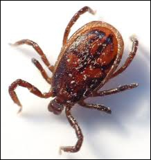 These animals love blood too as fleas do. You can find them grabbed on animals' skin.