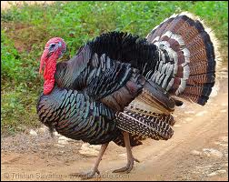 In America, there is a tradition of eating turkey in a special date. When is it?