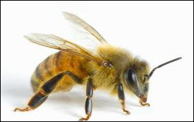 Only females can sting and not all of them die. Drones are the male honey ...