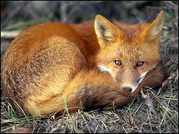 This mammal animal is very intelligent. People hunt them because of their fur.