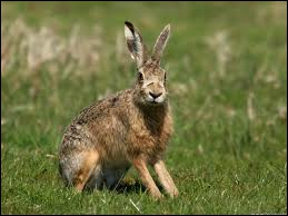 This animal is similar to rabbits but they are bigger and faster. Its phonics is similar to bear.