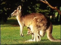 These animals as koalas and dingos are typical animals from Australia.