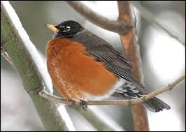 The name of this bird is the beginning of ... Hood, who lived in Sherwood Forests and helped poor and those in need.