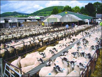Where is Abergavenny livestock market moving to after campaigners lost a long-running legal battle last week?