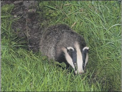 HOW many badgers are said to have been vaccinated in the first of the Welsh Government's five-year badger vaccination programmes?