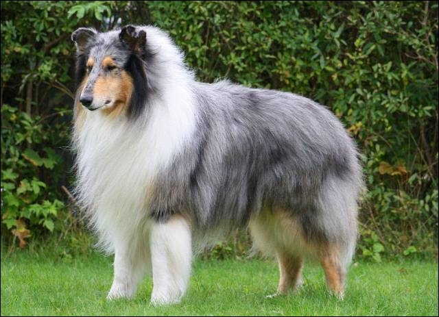 Rough Collie Poodle Mix Images & Pictures - Becuo