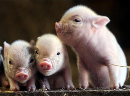 How many pigs in the picture?