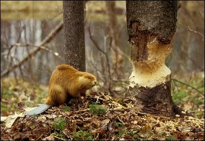 A ... uses its sharp teeth to cut down trees.