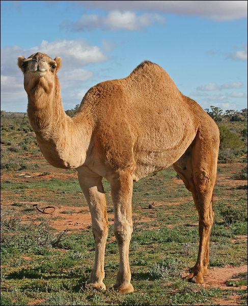 There are more wild dromedaries in Australia than in the rest of the world !