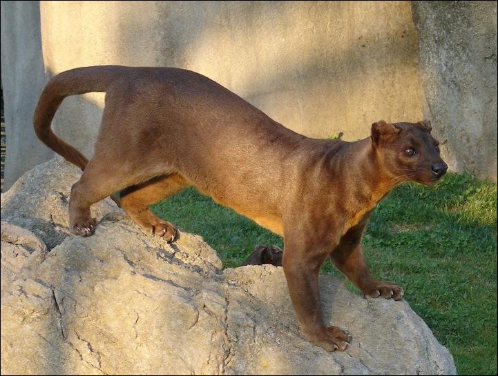 The fossa lives in Asia !